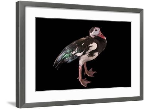 A Northern Spur Winged Goose, Plectropterus Gambensis, at Sylvan Heights Bird Park-Joel Sartore-Framed Art Print