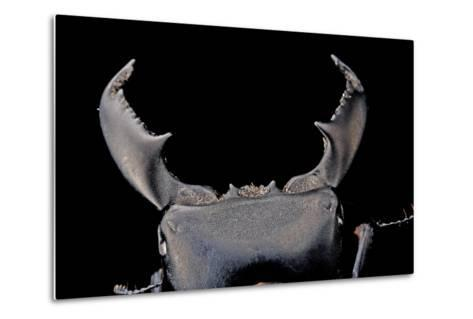 Black Stag Beetle, Dorcus Titanus, at the Audubon Butterfly Garden and Insectarium-Joel Sartore-Metal Print