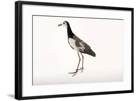 A Long Toed Lapwing, Vanellus Crassirostris, at  Sylvan Heights Bird Park-Joel Sartore-Framed Art Print