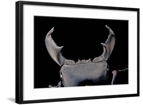 Black Stag Beetle, Dorcus Titanus, at the Audubon Butterfly Garden and Insectarium-Joel Sartore-Framed Art Print