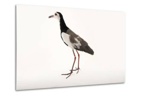 A Long Toed Lapwing, Vanellus Crassirostris, at  Sylvan Heights Bird Park-Joel Sartore-Metal Print