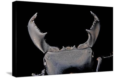 Black Stag Beetle, Dorcus Titanus, at the Audubon Butterfly Garden and Insectarium-Joel Sartore-Stretched Canvas Print