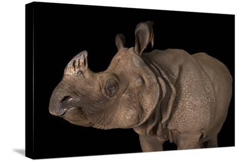 A Vulnerable Female Indian Rhinoceros, Rhinoceros Unicornis, at the Fort Worth Zoo-Joel Sartore-Stretched Canvas Print