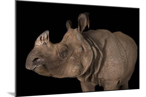 A Vulnerable Female Indian Rhinoceros, Rhinoceros Unicornis, at the Fort Worth Zoo-Joel Sartore-Mounted Photographic Print