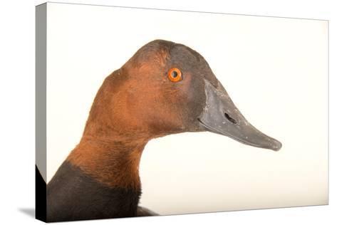 A Male Canvasback Duck, Aythya Valisineria, at Sylvan Heights Bird Park-Joel Sartore-Stretched Canvas Print