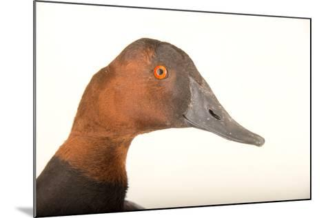 A Male Canvasback Duck, Aythya Valisineria, at Sylvan Heights Bird Park-Joel Sartore-Mounted Photographic Print