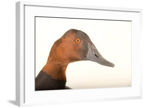 A Male Canvasback Duck, Aythya Valisineria, at Sylvan Heights Bird Park-Joel Sartore-Framed Art Print