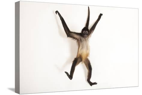 A Critically Endangered Mexican Spider Monkey, Ateles Geoffroyi Vellerosus-Joel Sartore-Stretched Canvas Print