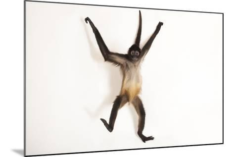 A Critically Endangered Mexican Spider Monkey, Ateles Geoffroyi Vellerosus-Joel Sartore-Mounted Photographic Print