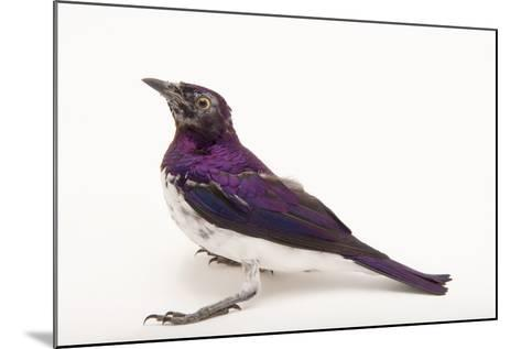 An Amethyst Starling, Cinnyricinclus Leucogaster, at the Houston Zoo-Joel Sartore-Mounted Photographic Print