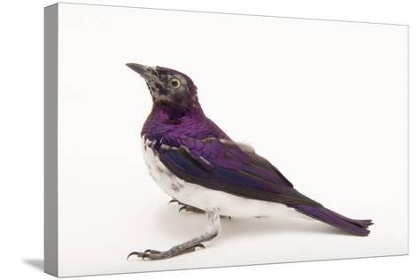 An Amethyst Starling, Cinnyricinclus Leucogaster, at the Houston Zoo-Joel Sartore-Stretched Canvas Print