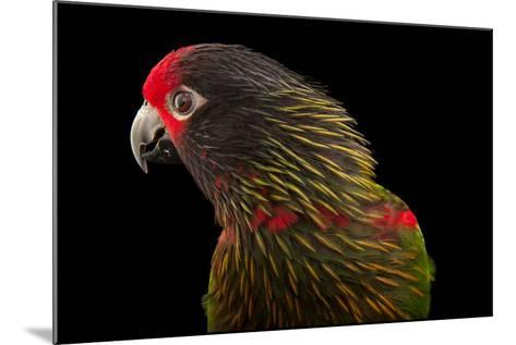 A Yellow-Streaked Lory, Chalcopsitta Scintillata, at the Cleveland Metroparks Zoo-Joel Sartore-Mounted Photographic Print