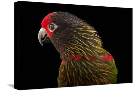 A Yellow-Streaked Lory, Chalcopsitta Scintillata, at the Cleveland Metroparks Zoo-Joel Sartore-Stretched Canvas Print