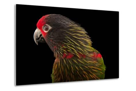A Yellow-Streaked Lory, Chalcopsitta Scintillata, at the Cleveland Metroparks Zoo-Joel Sartore-Metal Print