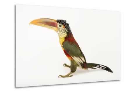 A Curl Crested Aracari, Pteroglossus Beauharnaesii, at the Dallas World Aquarium-Joel Sartore-Metal Print