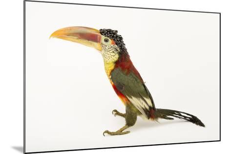 A Curl Crested Aracari, Pteroglossus Beauharnaesii, at the Dallas World Aquarium-Joel Sartore-Mounted Photographic Print