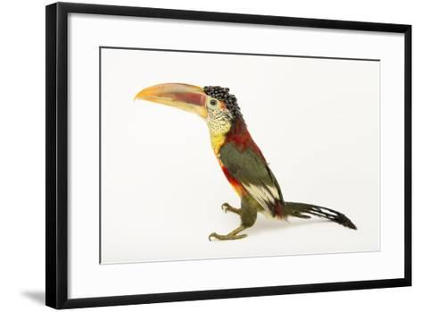 A Curl Crested Aracari, Pteroglossus Beauharnaesii, at the Dallas World Aquarium-Joel Sartore-Framed Art Print