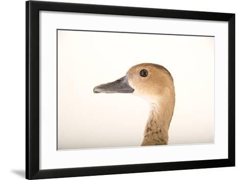 A Female Lesser Whistling Duck, Dendrocygna Javanica, at Sylvan Heights Bird Park-Joel Sartore-Framed Art Print