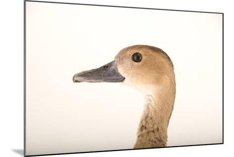 A Female Lesser Whistling Duck, Dendrocygna Javanica, at Sylvan Heights Bird Park-Joel Sartore-Mounted Photographic Print
