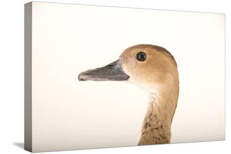 A Female Lesser Whistling Duck, Dendrocygna Javanica, at Sylvan Heights Bird Park-Joel Sartore-Stretched Canvas Print