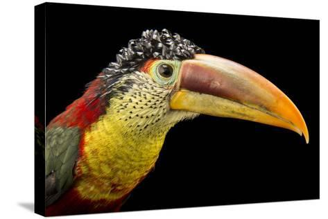 A Curl Crested Aracari, Pteroglossus Beauharnaesii, at the Dallas World Aquarium-Joel Sartore-Stretched Canvas Print