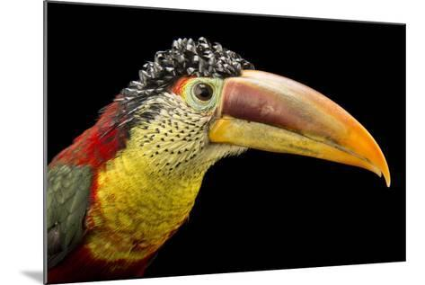 A Curl Crested Aracari, Pteroglossus Beauharnaesii, at the Dallas World Aquarium-Joel Sartore-Mounted Photographic Print