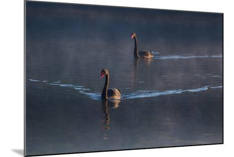 A Pair of Black Swan, Cygnus Atratus, on a Misty Lake in Brazil's Ibirapuera Park-Alex Saberi-Mounted Photographic Print