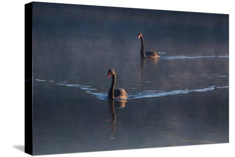 A Pair of Black Swan, Cygnus Atratus, on a Misty Lake in Brazil's Ibirapuera Park-Alex Saberi-Stretched Canvas Print