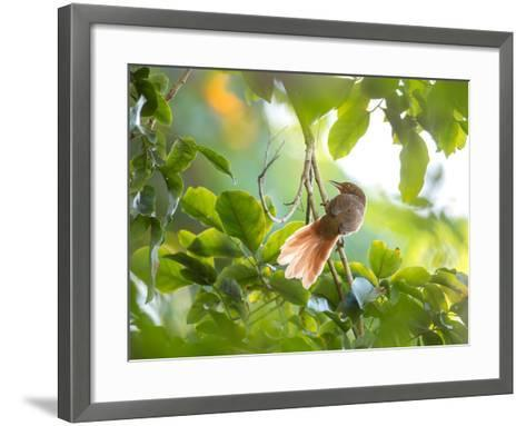 An Orange-Breasted Thornbird Perches on a Tree Branch in the Atlantic Rainforest-Alex Saberi-Framed Art Print