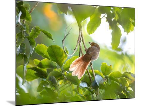 An Orange-Breasted Thornbird Perches on a Tree Branch in the Atlantic Rainforest-Alex Saberi-Mounted Photographic Print