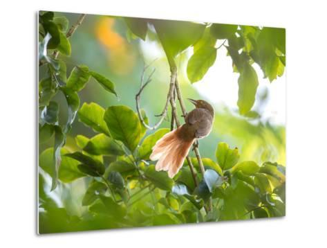 An Orange-Breasted Thornbird Perches on a Tree Branch in the Atlantic Rainforest-Alex Saberi-Metal Print