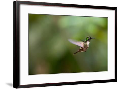 A Festive Coquette, Lophornis Chalybeus, in Flight in the Atlantic Rainforest-Alex Saberi-Framed Art Print