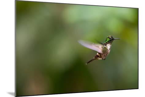 A Festive Coquette, Lophornis Chalybeus, in Flight in the Atlantic Rainforest-Alex Saberi-Mounted Photographic Print