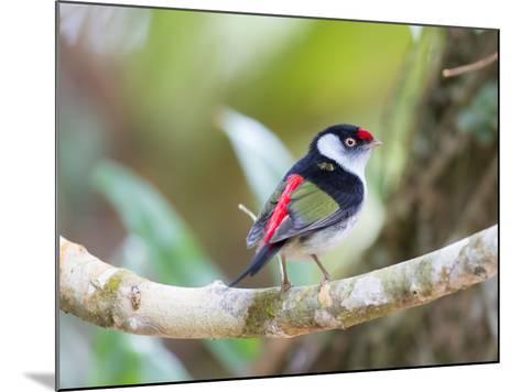 A Pin-Tailed Manakin Perches on a Tree Branch in the Atlantic Rainforest-Alex Saberi-Mounted Photographic Print