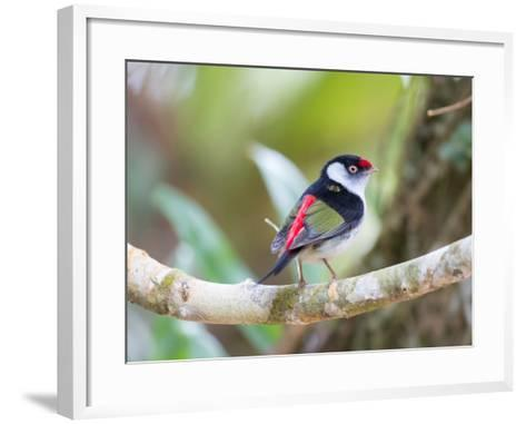 A Pin-Tailed Manakin Perches on a Tree Branch in the Atlantic Rainforest-Alex Saberi-Framed Art Print