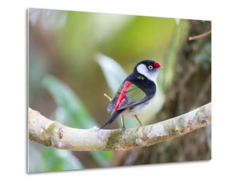 A Pin-Tailed Manakin Perches on a Tree Branch in the Atlantic Rainforest-Alex Saberi-Metal Print