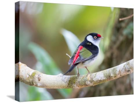 A Pin-Tailed Manakin Perches on a Tree Branch in the Atlantic Rainforest-Alex Saberi-Stretched Canvas Print