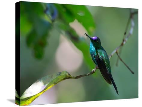 A Violet-Capped Woodnymph Perching on Twig in Atlantic Rainforest, Brazil-Alex Saberi-Stretched Canvas Print