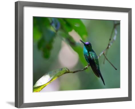 A Violet-Capped Woodnymph Perching on Twig in Atlantic Rainforest, Brazil-Alex Saberi-Framed Art Print