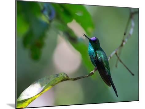 A Violet-Capped Woodnymph Perching on Twig in Atlantic Rainforest, Brazil-Alex Saberi-Mounted Photographic Print