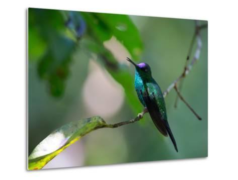 A Violet-Capped Woodnymph Perching on Twig in Atlantic Rainforest, Brazil-Alex Saberi-Metal Print