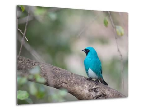 A Swallow Tanager Perching on Tree Branch in Sao Paulo's Ibirapuera Park-Alex Saberi-Metal Print