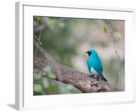 A Swallow Tanager Perching on Tree Branch in Sao Paulo's Ibirapuera Park-Alex Saberi-Framed Art Print