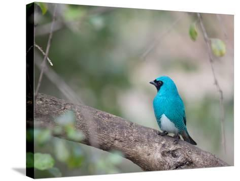 A Swallow Tanager Perching on Tree Branch in Sao Paulo's Ibirapuera Park-Alex Saberi-Stretched Canvas Print