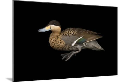 A Male Silver Teal, Anas Versicolor, at Sylvan Heights Bird Park-Joel Sartore-Mounted Photographic Print