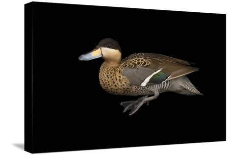 A Male Silver Teal, Anas Versicolor, at Sylvan Heights Bird Park-Joel Sartore-Stretched Canvas Print