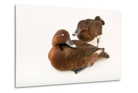 A Male and Female Hardhead Duck, Aythya Australis, at Sylvan Heights Bird Park-Joel Sartore-Metal Print