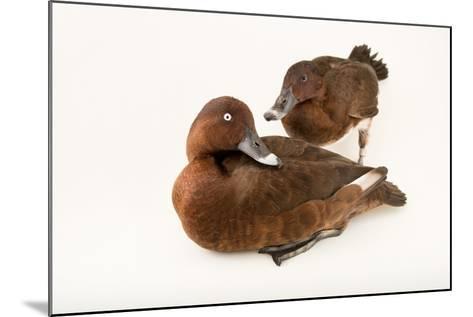 A Male and Female Hardhead Duck, Aythya Australis, at Sylvan Heights Bird Park-Joel Sartore-Mounted Photographic Print