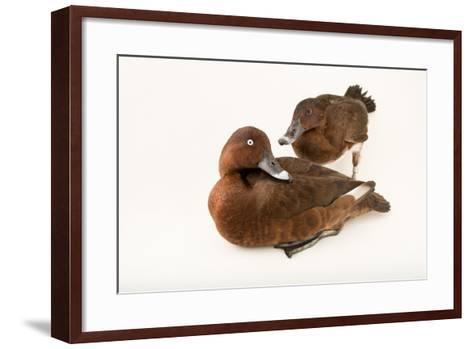 A Male and Female Hardhead Duck, Aythya Australis, at Sylvan Heights Bird Park-Joel Sartore-Framed Art Print