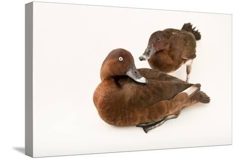 A Male and Female Hardhead Duck, Aythya Australis, at Sylvan Heights Bird Park-Joel Sartore-Stretched Canvas Print